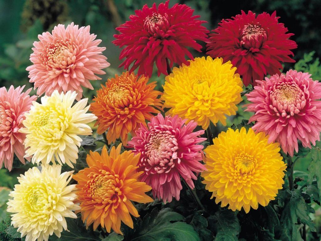 qué plantas de flores se plantan en otoño crisantemos