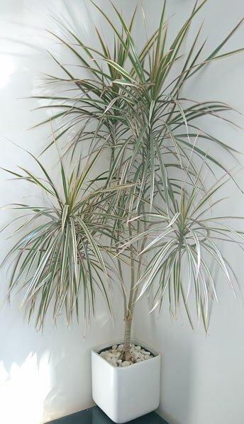 dragon-tree-dracaena-marginata-houseplant.jpg