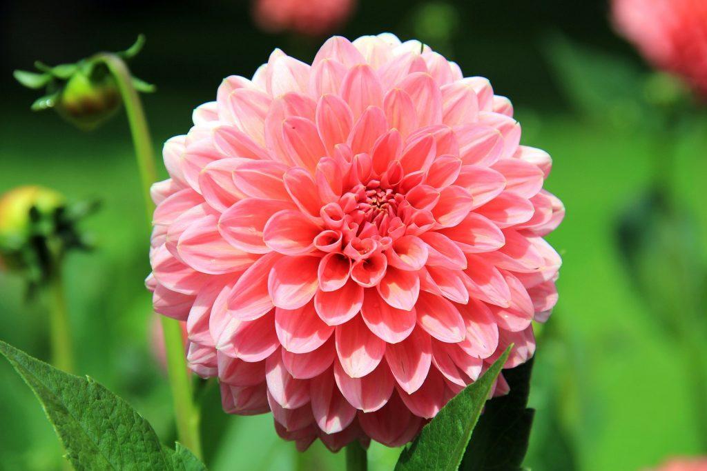 Descubre las flores de octubre, dalia