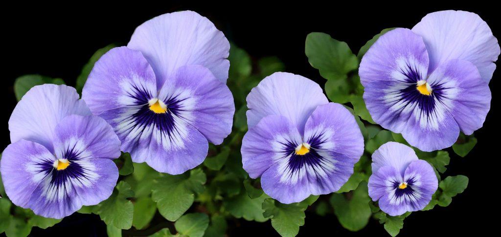 qué plantas de flores se plantan en otoño pensamiento