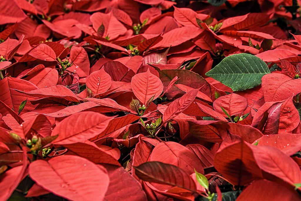 flores típicas de la navidad: Euphorbia pulcherrima