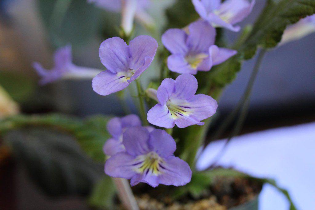 plantas que florecen en enero, estreptocarpo