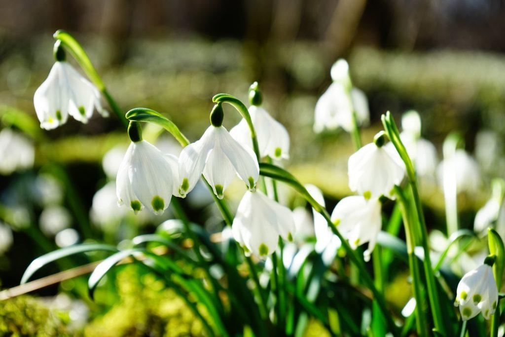 plantas que florecen en enero leucojum vernum