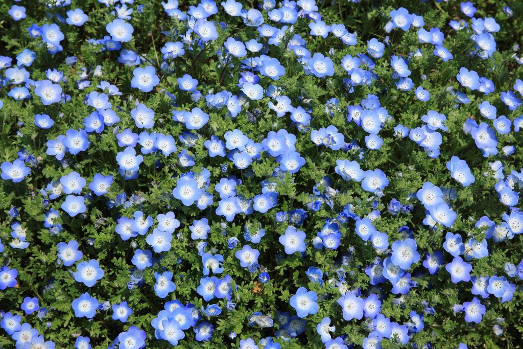 nomeolvides-flores-febrero