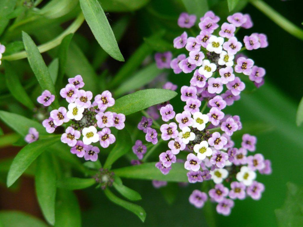arabis-caucasica-flores-febrero