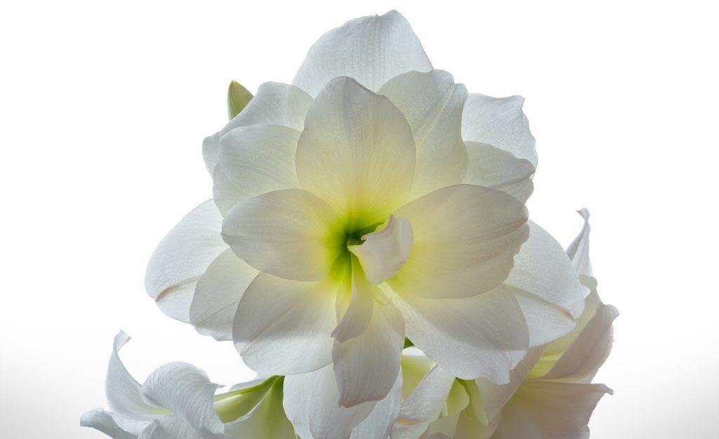 flores de amor narcisos