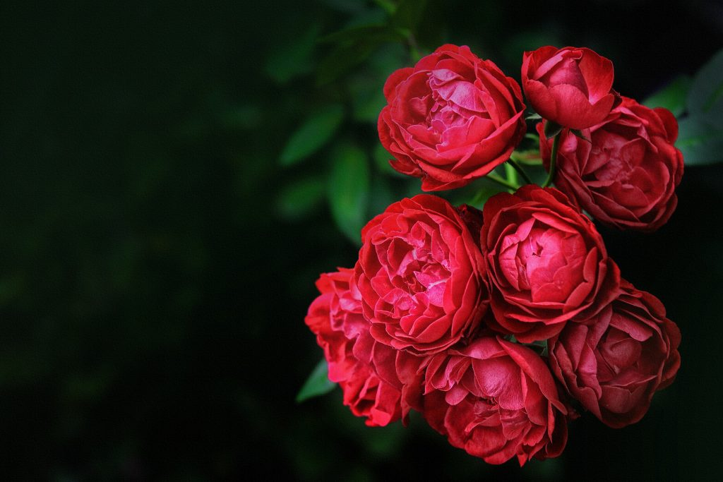 flores de amor rosas