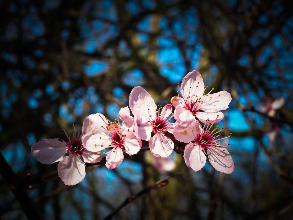 almendro-flores-febrero