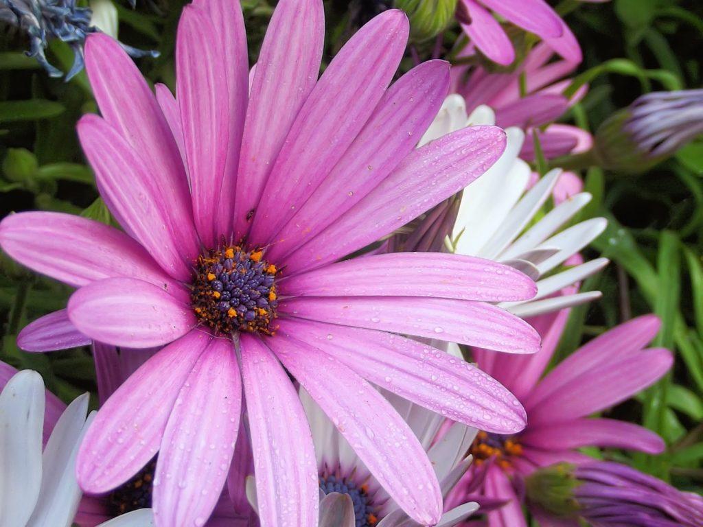 dimorphotheca-flores-febrero