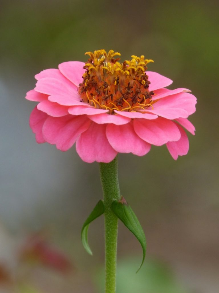zinia flores para el jardín en primavera