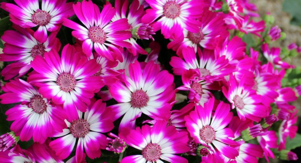 cineraria flores para el jardín en primavera