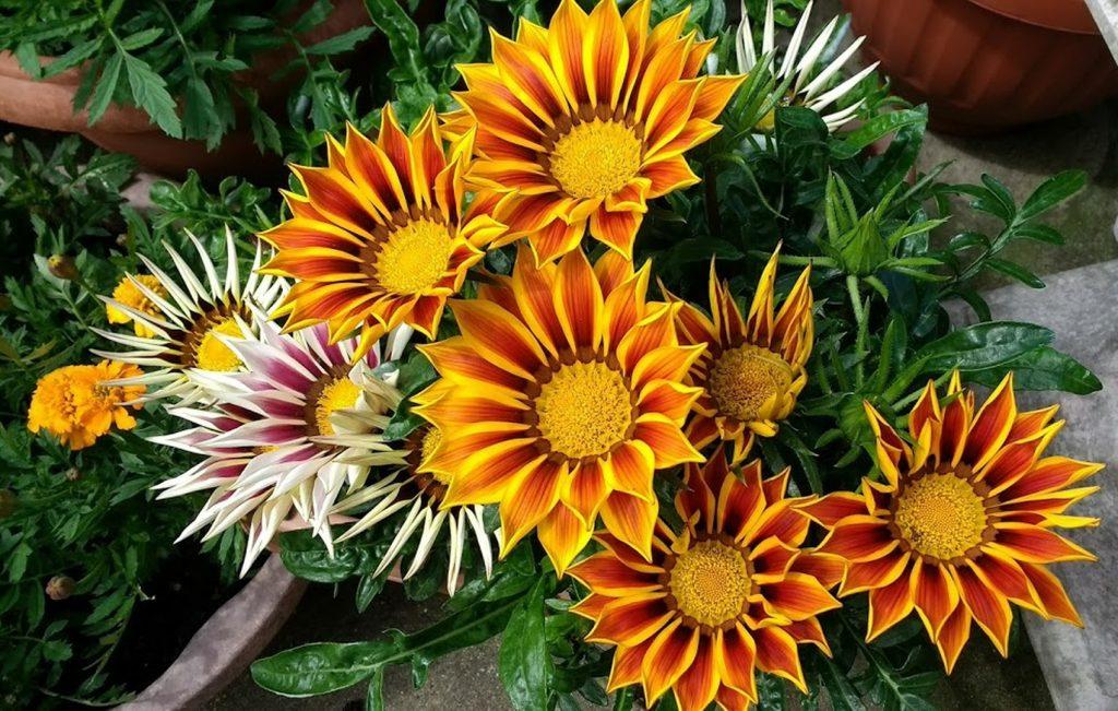 gazania flores para el jardín en priamvera