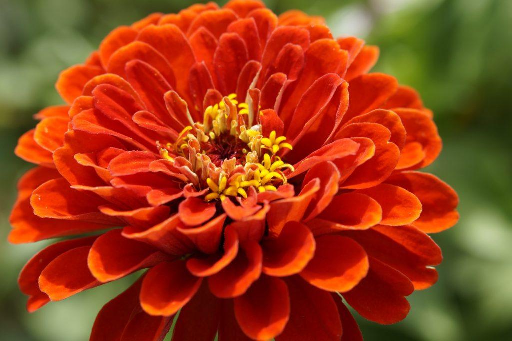qué plantas de flores se plantan en otoño zinnia